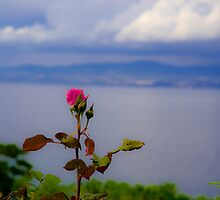 Beauty of Rose by Sotiris Filippou