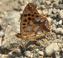 Queen of Spain Fritillary butterfly on dirt track, Rila Mountains, Bulgaria by Michael Field
