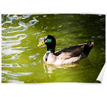 Duck In The Park Poster