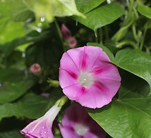 Morning Glory in Pink by aprilann