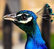 Peacock by Sotiris Filippou