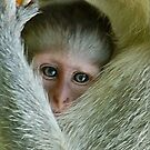 ALWAYS TUCKED IN - THE VERVET MONKEY - ,CERCOPITHECUS PYGERYTHRUS - Blou Aap by Magriet Meintjes