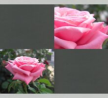 Pink Roses in Anzures 6 Blank Q6F0 by Christopher Johnson