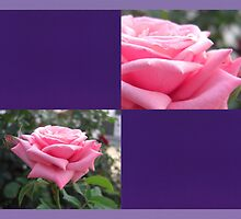 Pink Roses in Anzures 6 Blank Q9F0 by Christopher Johnson