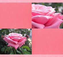 Pink Roses in Anzures 6 Blank Q11F0 by Christopher Johnson