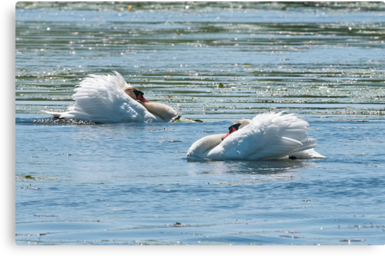 Mute Swans Displaying by Michael Cummings