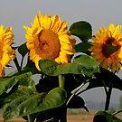 Sunflowers in the morning sun by hanslittel
