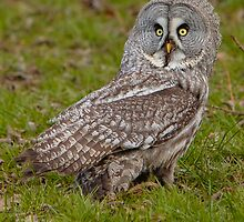 Great Grey Owl on the ground by Dave  Knowles