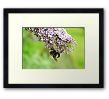 White Tailed Bumblebee - London Framed Print