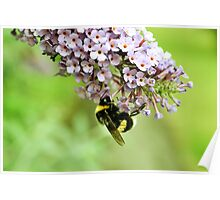 White Tailed Bumblebee - London Poster