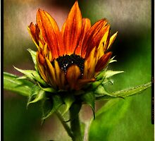 Sunflower rising  by KSKphotography