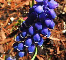 Grape Hyacinth by SRowe Art