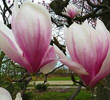 Twin Magnolias by SRowe Art