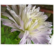 White and Lavender Aster Poster