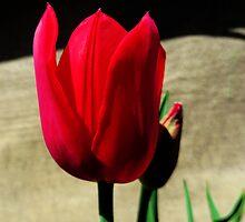 Crimson Tulip by SRowe Art