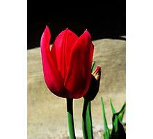 Crimson Tulip Photographic Print