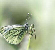 Green-veined White by Bob Daalder