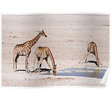 Giraffes at Watering Hole Poster