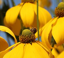 Honey Bee on Yellow Flower 3 by KayEeGee