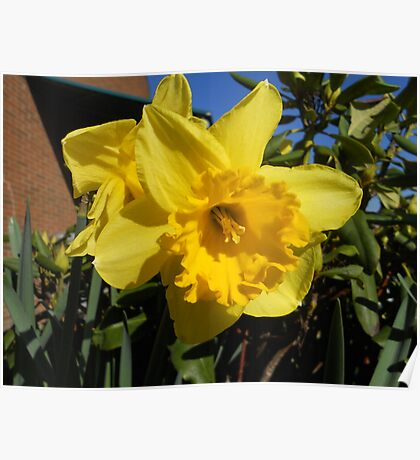 March Daffodil 10 Poster