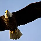 Eagle in Flight by Michael Atkins