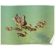 Duck & Ducklings Poster