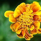 Marigolden by Briar Richard