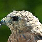 Falcon by Lisa G. Putman