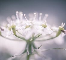 Dewdrops by AugenBlicke