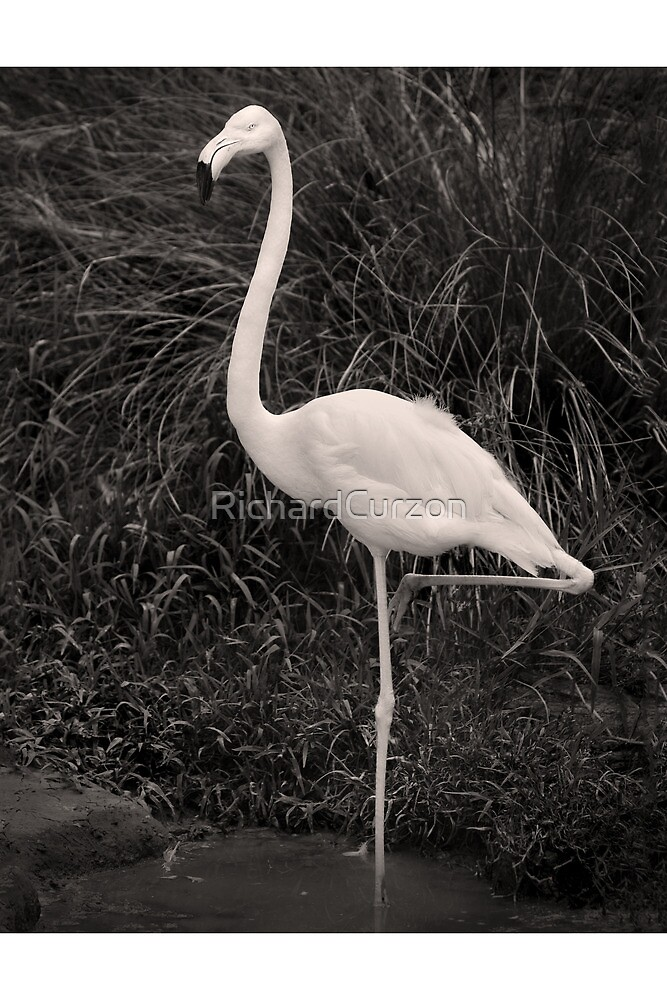 Flamingo, pose and click by RichardCurzon