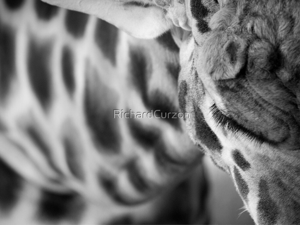 Giraffe from above by RichardCurzon