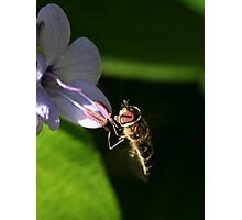 Hoverfly (3) Photographic Print