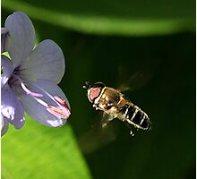 Hoverfly approaching flower Photographic Print
