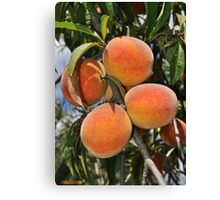 """Going to the Country, Going to Eat a Lot of Peaches . . ."" Canvas Print"