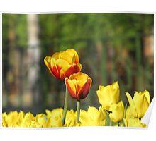 tulips' tango Poster