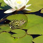 Frog on Lily Pad by rhamm