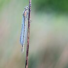 Common Blue Damselfly by Nick Jenkins
