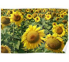 Sunflower Field on the Prairies Poster