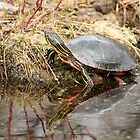 Painted Turtle Climbing Onto Shore by rhamm