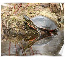 Painted Turtle Climbing Onto Shore Poster