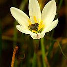White flower with fly visitor by Sue Fallon Photography
