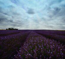 Field of Lavender by Nigel Bangert