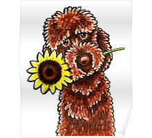 Sunny Chocolate Labradoodle Poster