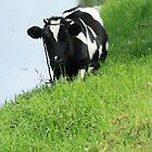 Cow Standing Beside a Lake by rhamm
