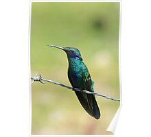 Sparkling Violetear Hummingbird on a Wire Poster