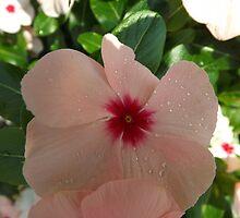 Rosy Periwinkle Close-Up, New York Botanical Garden, Bronx, New York by lenspiro