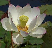 Water Lily Close-Up,  New York Botanical Garden, Bronx, New York by lenspiro