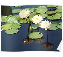Water Lily and Reflection,  New York Botanical Garden, Bronx, New York Poster