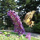 Butterfly and Flower Close-Up,  New York Botanical Garden, Bronx, New York by lenspiro