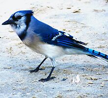 Blue Jay on The Beach by SRowe Art